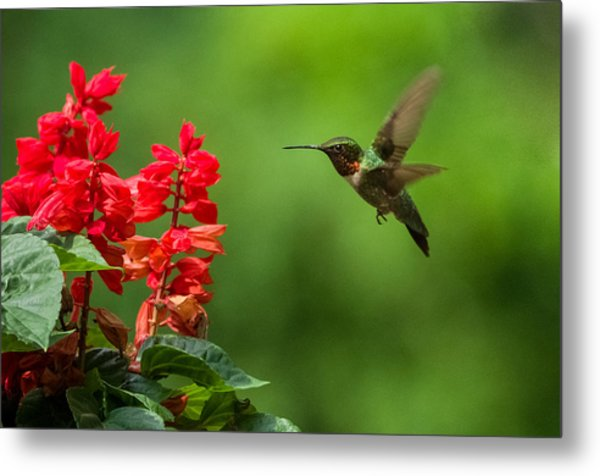 Hummingbird And Scarlet Sage Metal Print