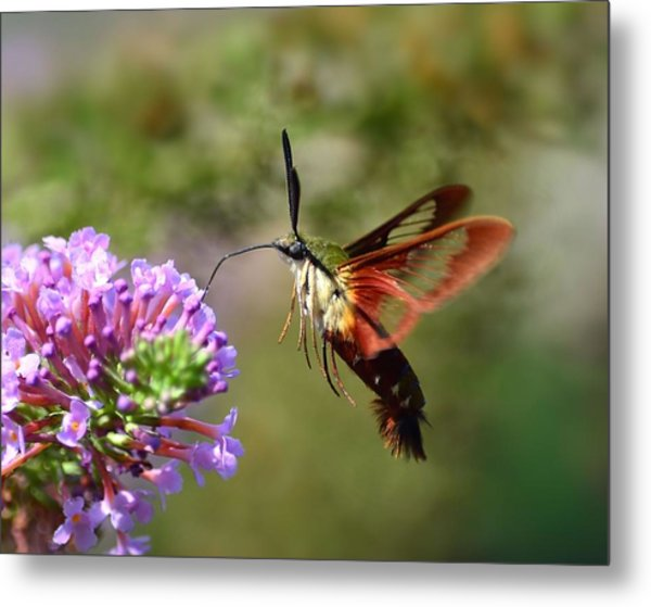 Hummingbird Clearwing Moth Metal Print