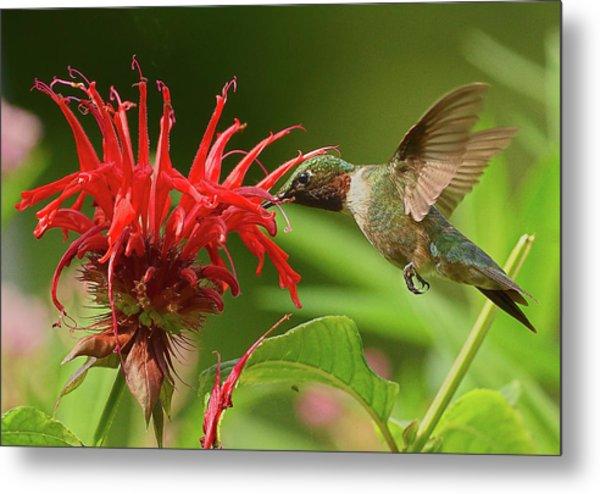 Hummingbird Delight Metal Print
