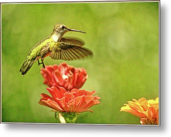 Hummingbird Drinking From Zinnia Metal Print