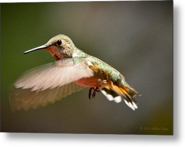Hummingbird Facing Left Metal Print