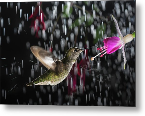 Hummingbird Hovering In Rain With Splash Metal Print
