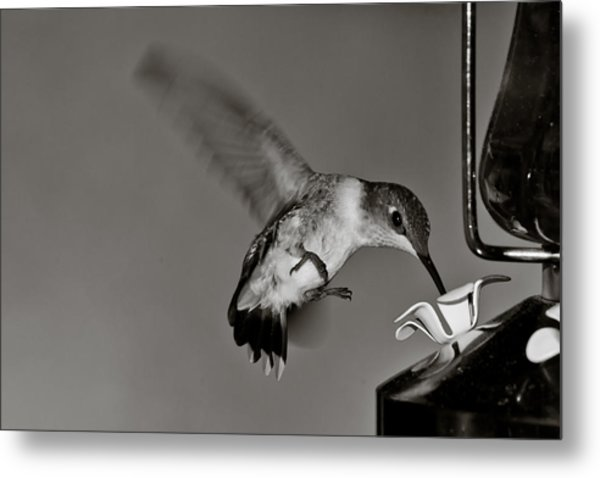 Hummingbird In Black And White Metal Print by Edward Myers