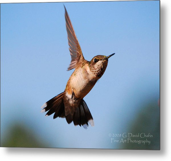 Hummingbird In Flight Metal Print by Dave Chafin