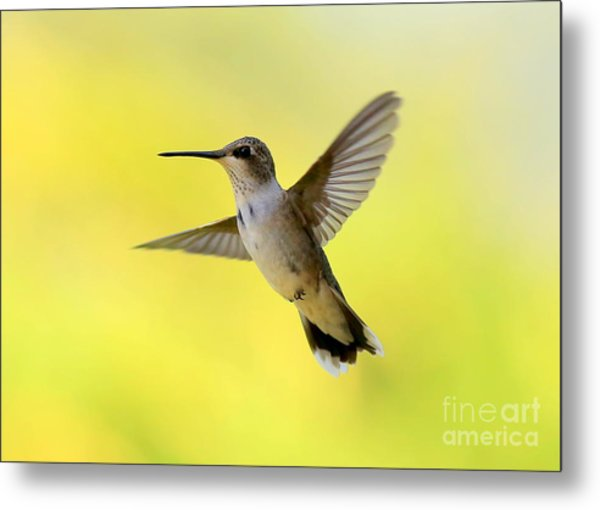 Hummingbird In Yellow Metal Print