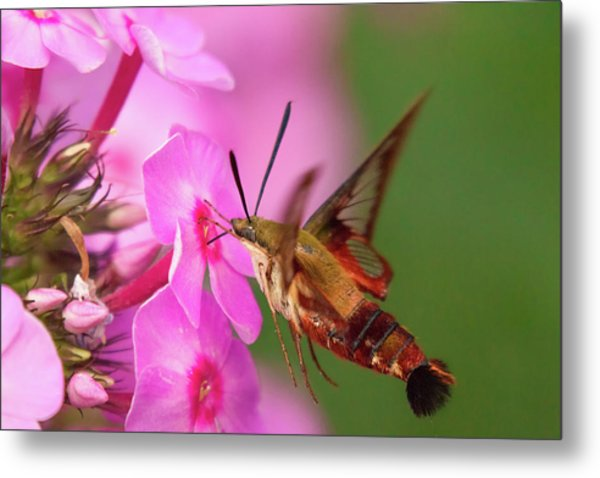 Hummingbird Moth Feeding 1 Metal Print