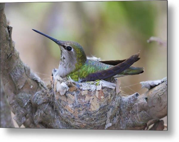 Hummingbird On Nest Metal Print