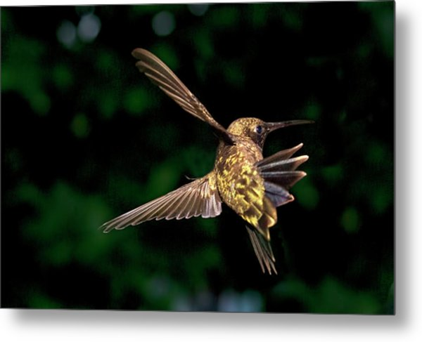 Hummingbird Taking Off Metal Print
