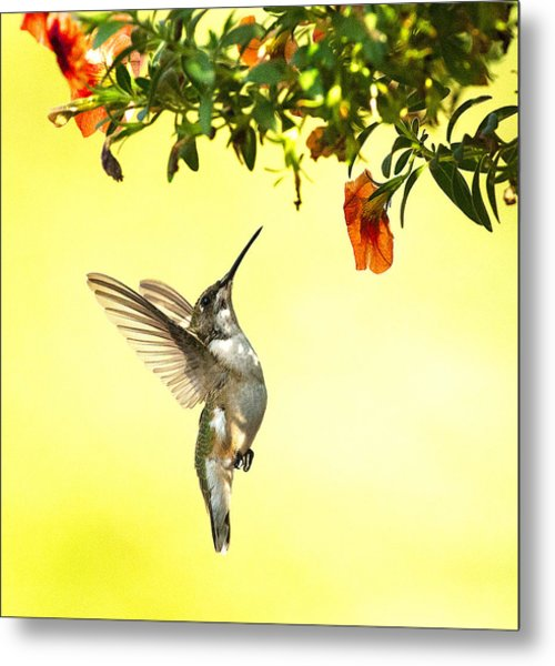 Hummingbird Under The Floral Canopy Metal Print