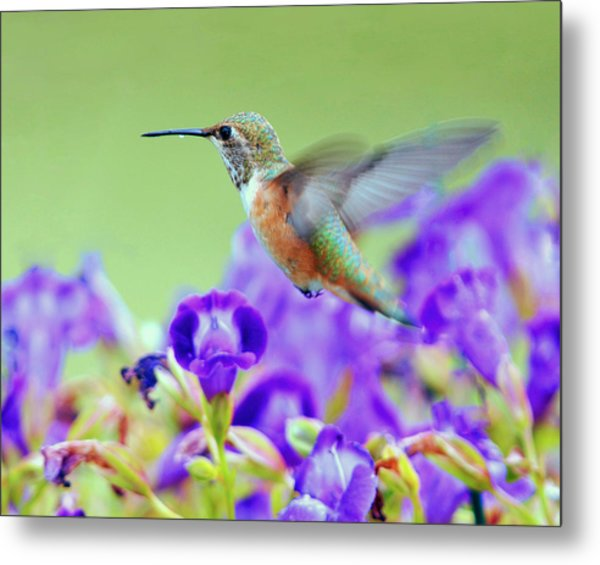 Hummingbird Visiting Violets Metal Print by Laura Mountainspring