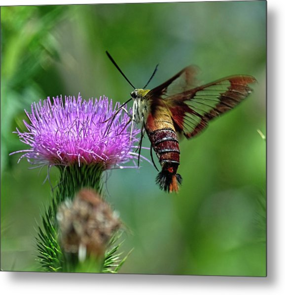 Hummingbirdbird Moth Dining Metal Print