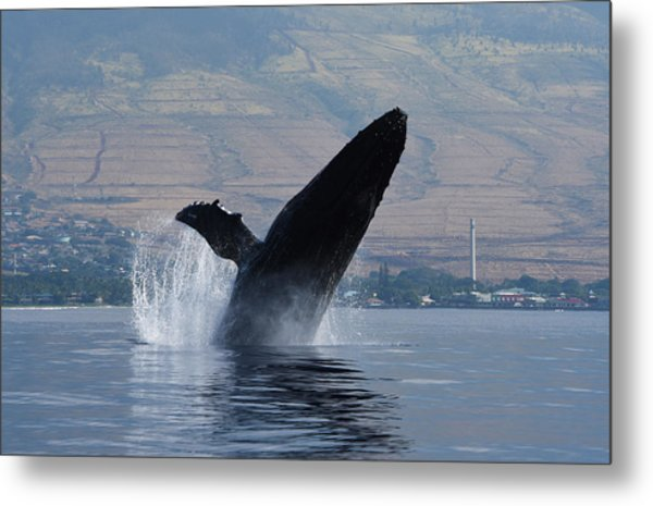 Humpback Whale Breach Metal Print