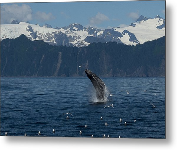 Humpback Whale Breach Seward Metal Print