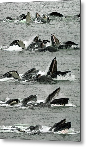 Humpback Whale Bubble-net Feeding Sequence X5 V1 Metal Print