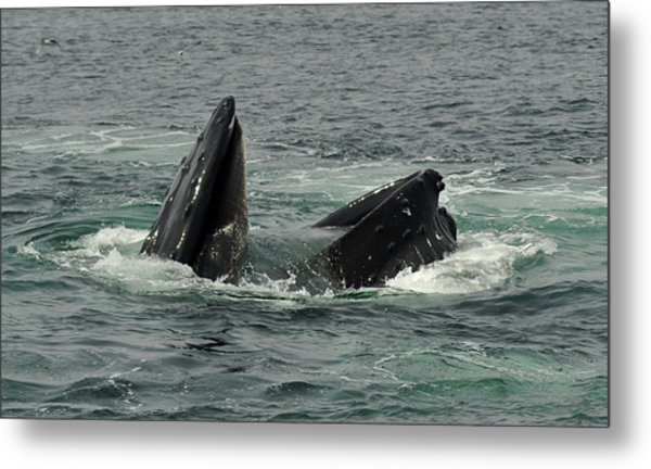 Hungry Humpback Metal Print