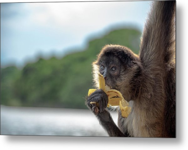 Hungry Monkey Metal Print by Michael Santos