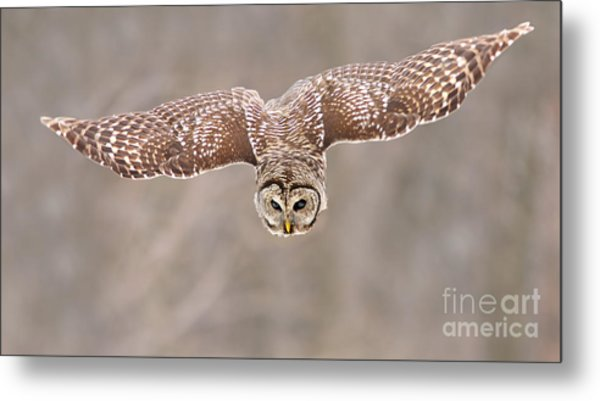 Hunting Barred Owl  Metal Print