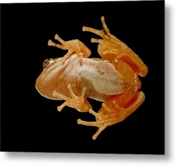 Hunting On Glass - Tree Frog Metal Print