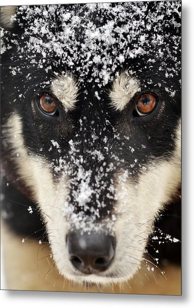 Husky And Snow Close-up Metal Print