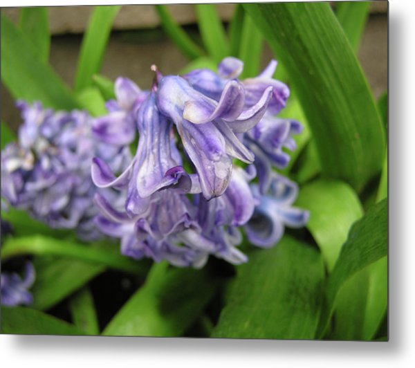 Hyacinth Flowers Metal Print by Richard Mitchell