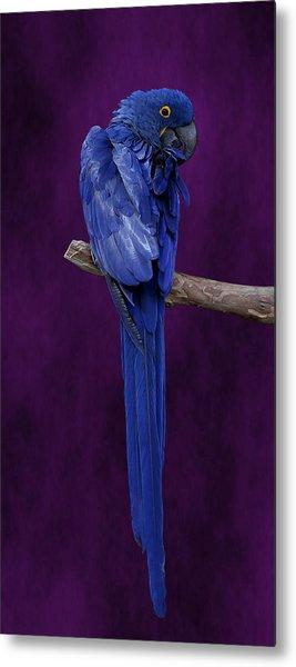Hyacinth Macaw Panoramic Metal Print