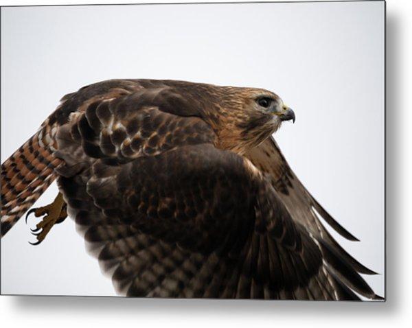 Hybrid Hawk Flyby  Metal Print