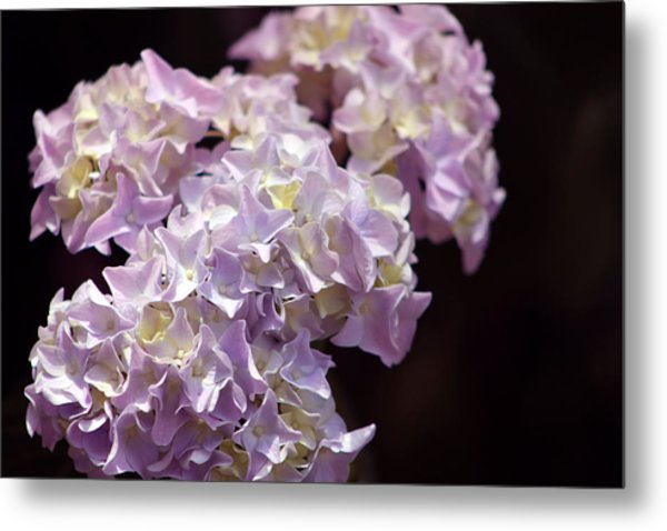 Hydrangea Metal Print by Evelyn Patrick
