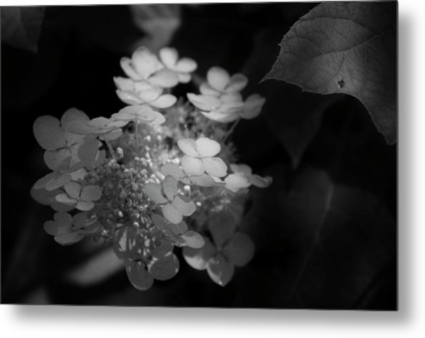 Hydrangea In Black And White Metal Print by Chrystal Mimbs
