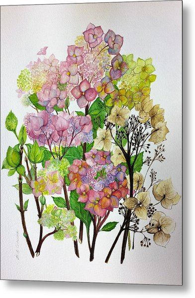 Hydrangea's Changing Colours Metal Print
