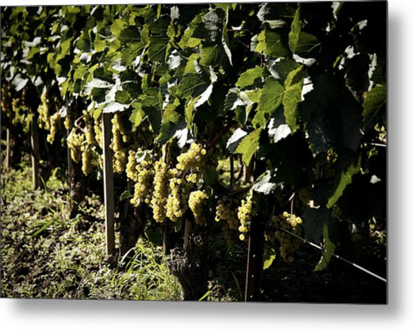 I Heard It Through The Grapevine Metal Print by Cabral Stock