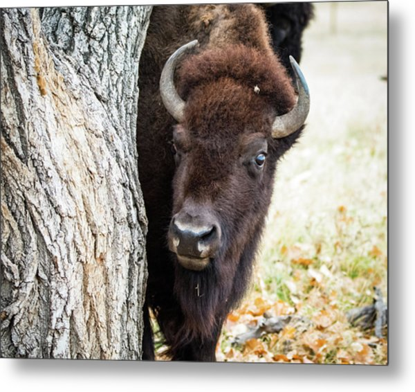 Metal Print featuring the photograph American Bison Peeks Around Tree by Philip Rodgers