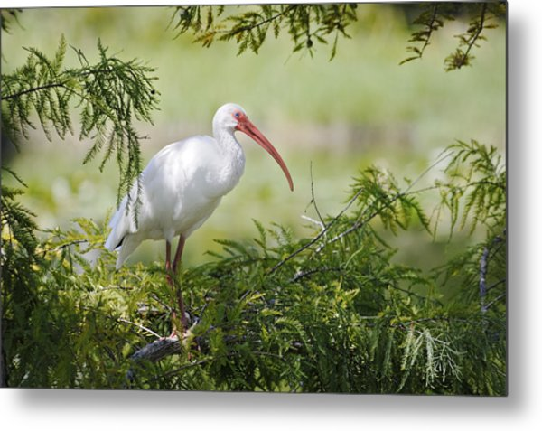 Ibis In Cypress Metal Print