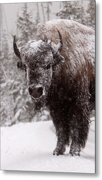 Ice Cold Winter Buffalo Metal Print
