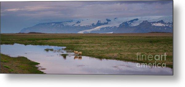 Iceland Sheep Reflections Panorama  Metal Print