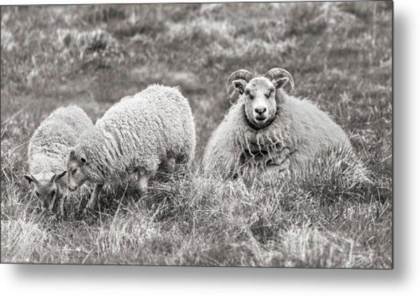 Iceland Woolly Bear Sheep Metal Print