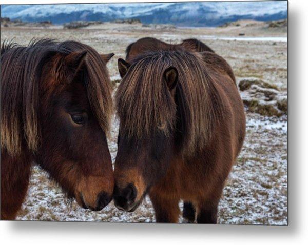 Icelandic Horses Couple Metal Print