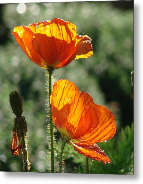 Icelandic Poppies Metal Print