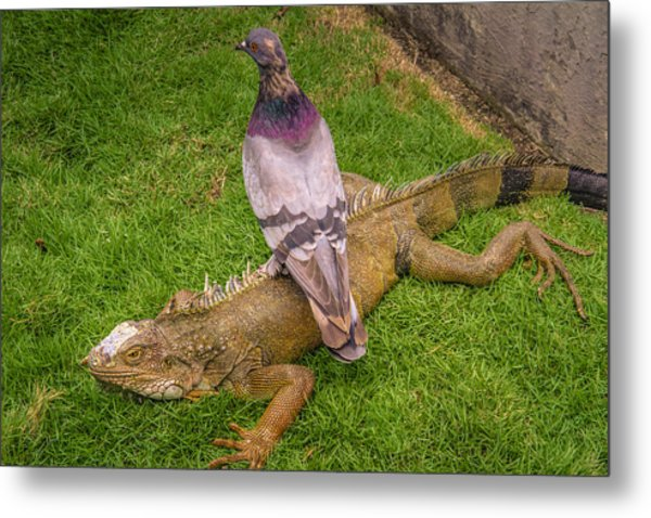Iguana With Pigeon On Its Back Metal Print