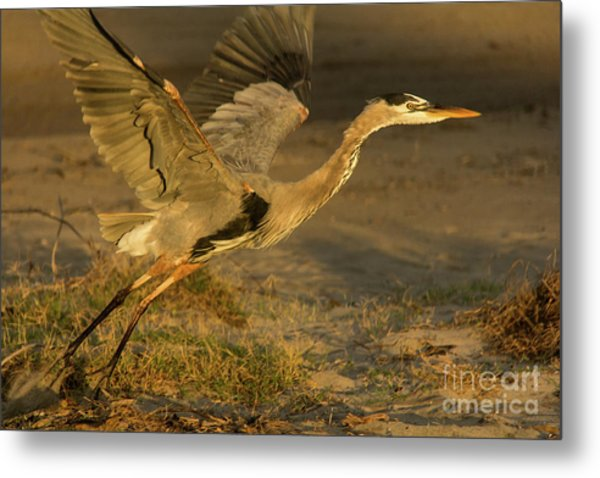 I'm Out Of Here Wildlife Art By Kaylyn Franks Metal Print