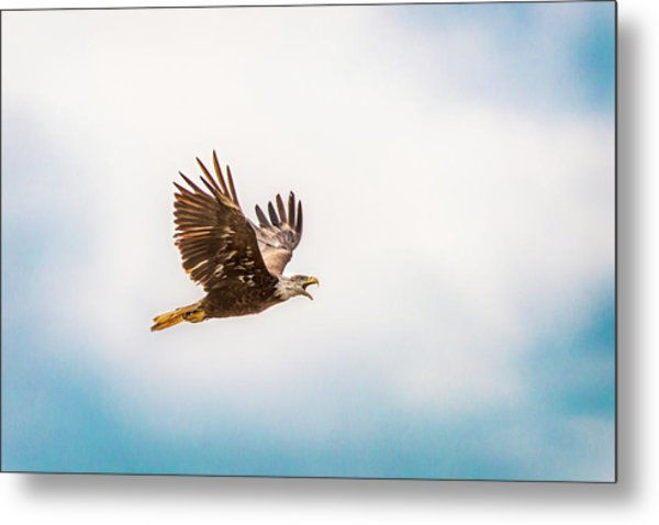Metal Print featuring the photograph Immature Bald Eagle by Onyonet  Photo Studios