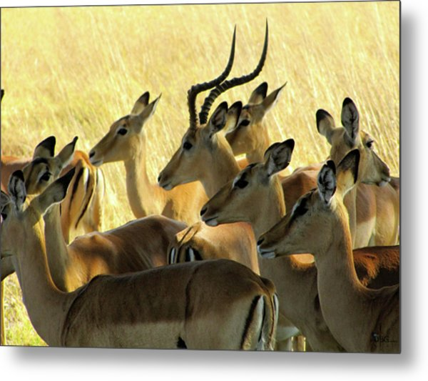 Impalas In The Plains Metal Print