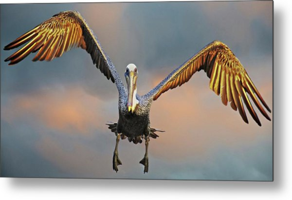 Incoming II, California Brown Pelican Metal Print