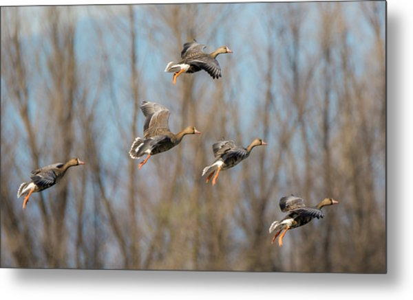Incoming White-fronted Geese Metal Print