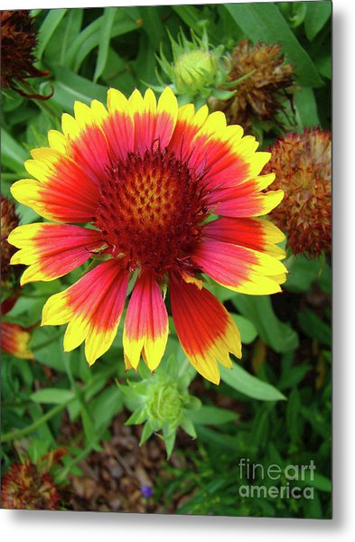 Indian Blanket Flower Metal Print