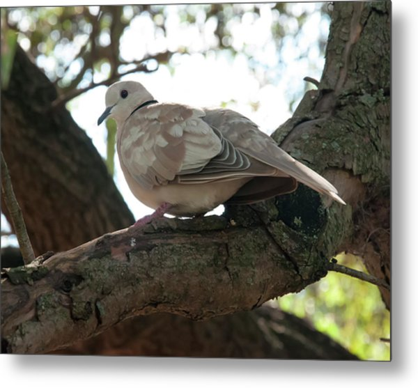 Metal Print featuring the photograph Indian Ringneck Dove by Chris Flees