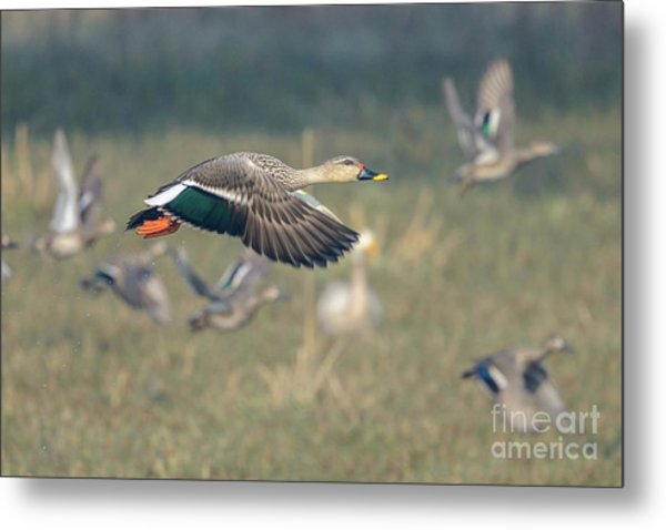Indian Spot-billed Duck 01 Metal Print