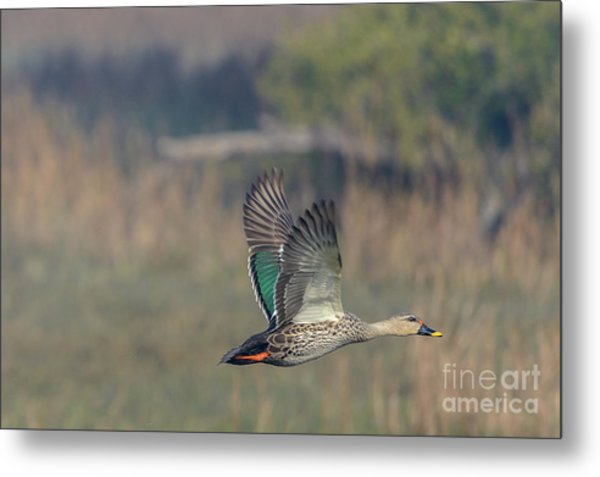 Indian Spot-billed Duck 03 Metal Print