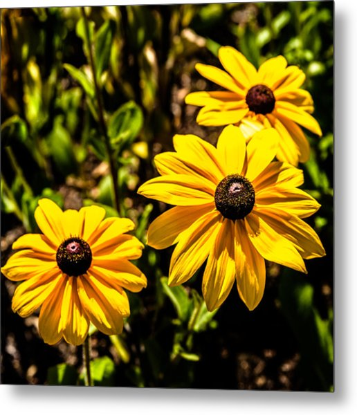 Indian Summer Gloriosa Daisy Metal Print