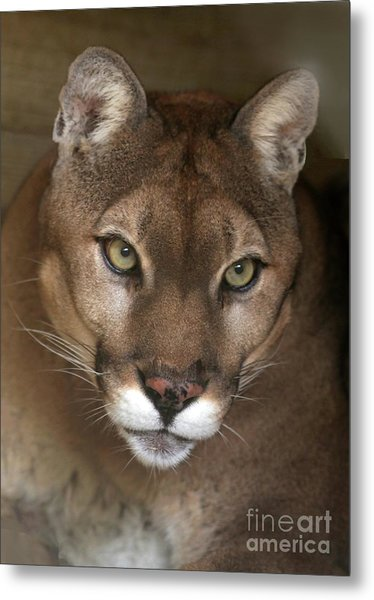 Intense Cougar Metal Print