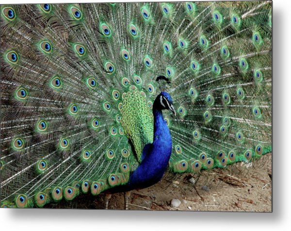 Iridescent Blue-green Peacock Metal Print